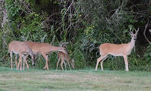 A picture of three white-tailed deer in Lakeway